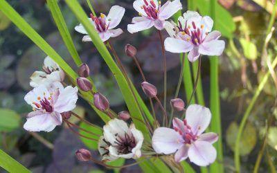 Butomus umbellatus the flowering rush
