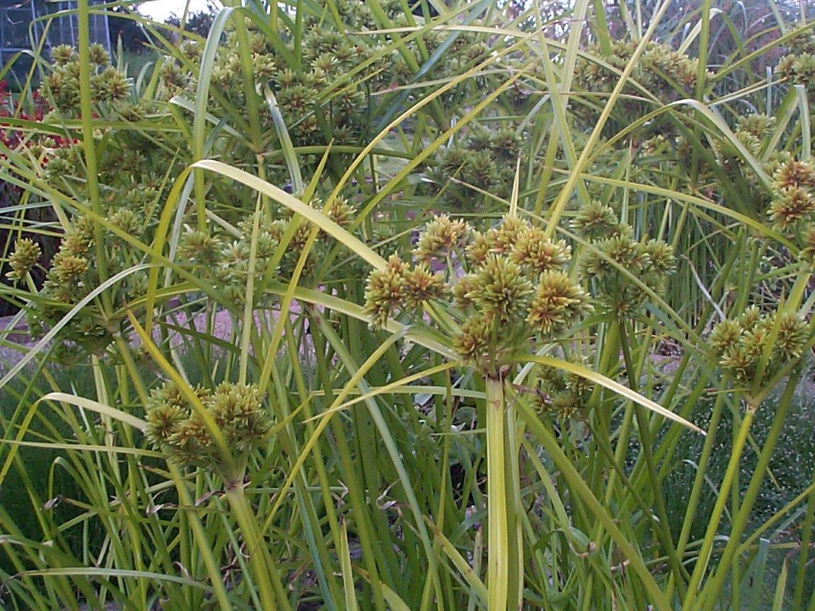Cyperus eragrostis - available March 2021 - Merebrook Pond ...