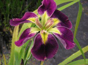 Iris Louisiana Merebrook Rum 'n' Raisin
