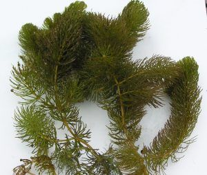 Frills and fronds of attractive oxygenating plant.
