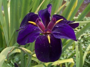 Louisiana Iris Black Gamecock - Hybridised Chowning 1980 - Merebrook Pondplants
