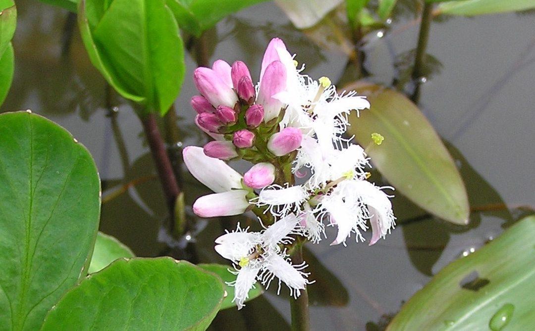 Menyanthes trifoliata marginal perfection