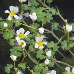Pretty flowers with white petals and yellow centres and tiny, clover-like leaves.