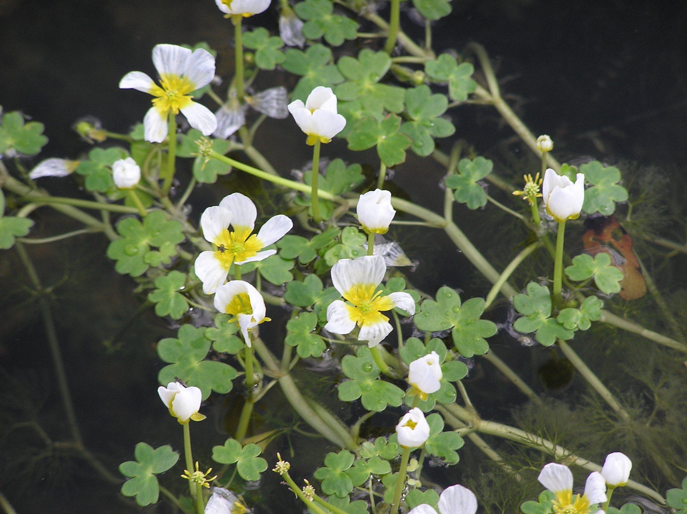 Ranunculus Aquatilis Hederaceus Merebrook Pond Plants