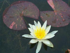 Arc-en-ciel water lily from Merebook Pondplants