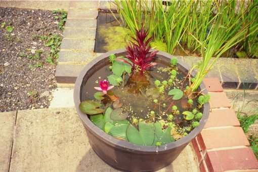 Container water garden in a small tub
