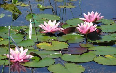 Top ten tips for helping your water lilies to thrive