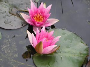 René Gérard water lilies in the rain from Merebrook Pondplants