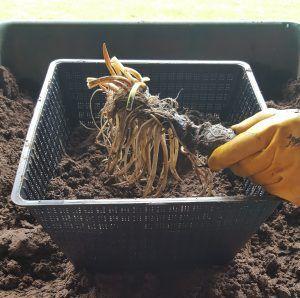 Planting an oderata rhizome