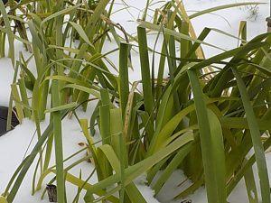 Louisiana Iris in Merebrook Pondplants gardens March 2018