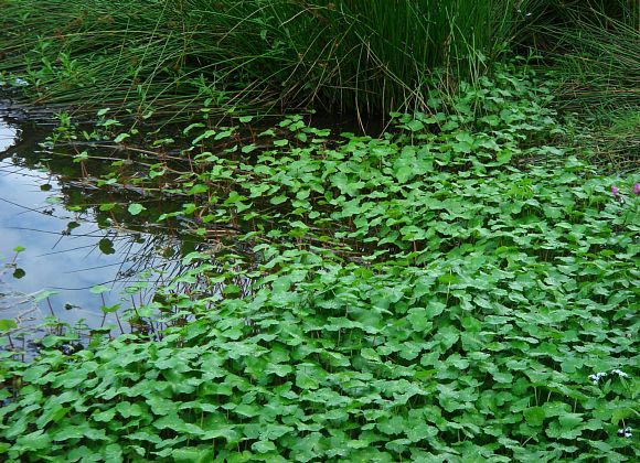 A mass of green leaves creep across a pond